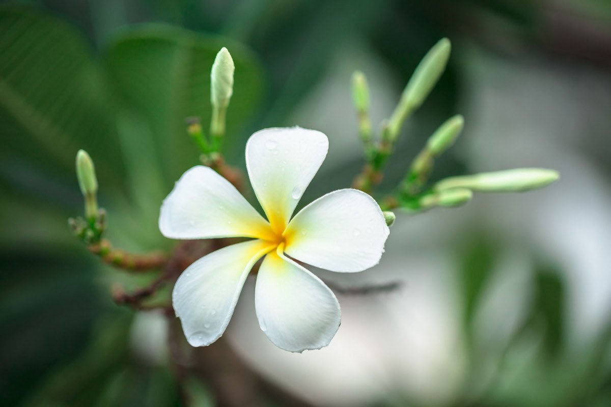 5r-White-plumeria-flower-with-raindrops